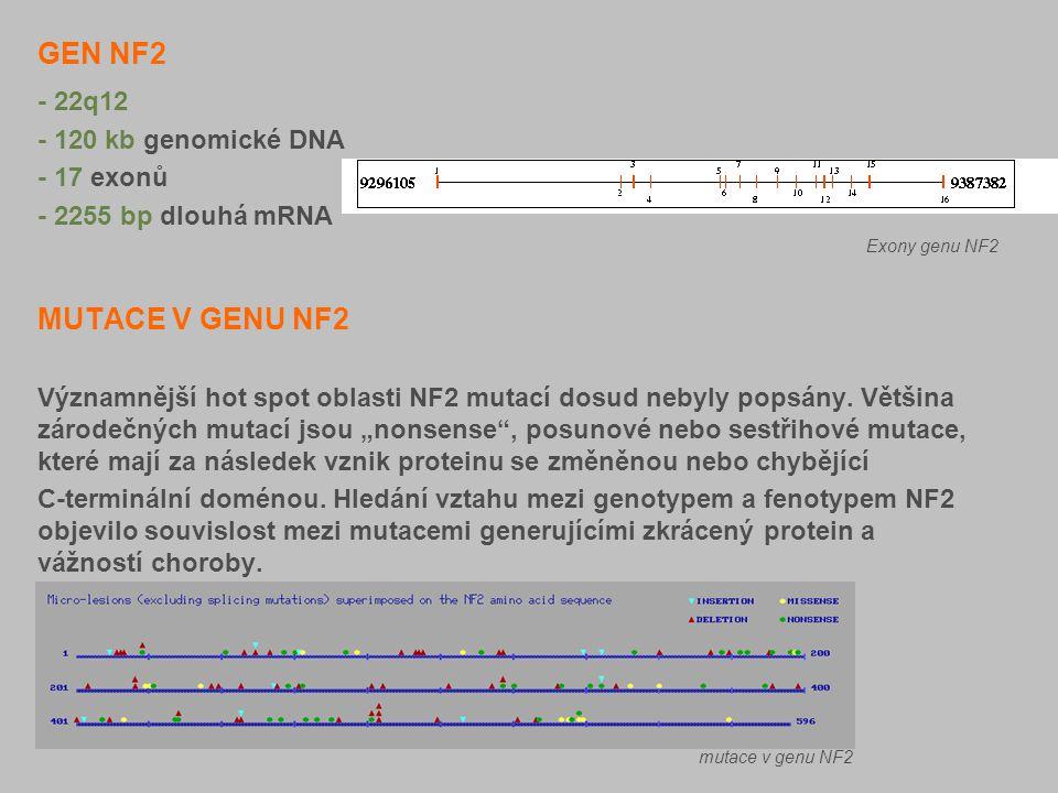 GEN NF2 - 22q12 - 120 kb genomické DNA - 17 exonů - 2255 bp dlouhá mRNA. MUTACE V GENU NF2 Významnější hot spot oblasti NF2 mutací dosud nebyly popsán