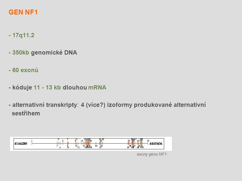 - 17q11.2 - 350kb genomické DNA - 60 exonů - kóduje 11 - 13 kb dlouhou mRNA - alternativní transkripty: 4 (více?) izoformy produkované alternativní se