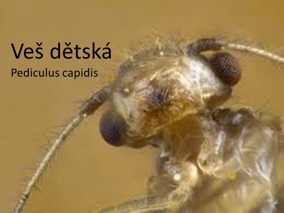 Veš dětská Pediculus capidis
