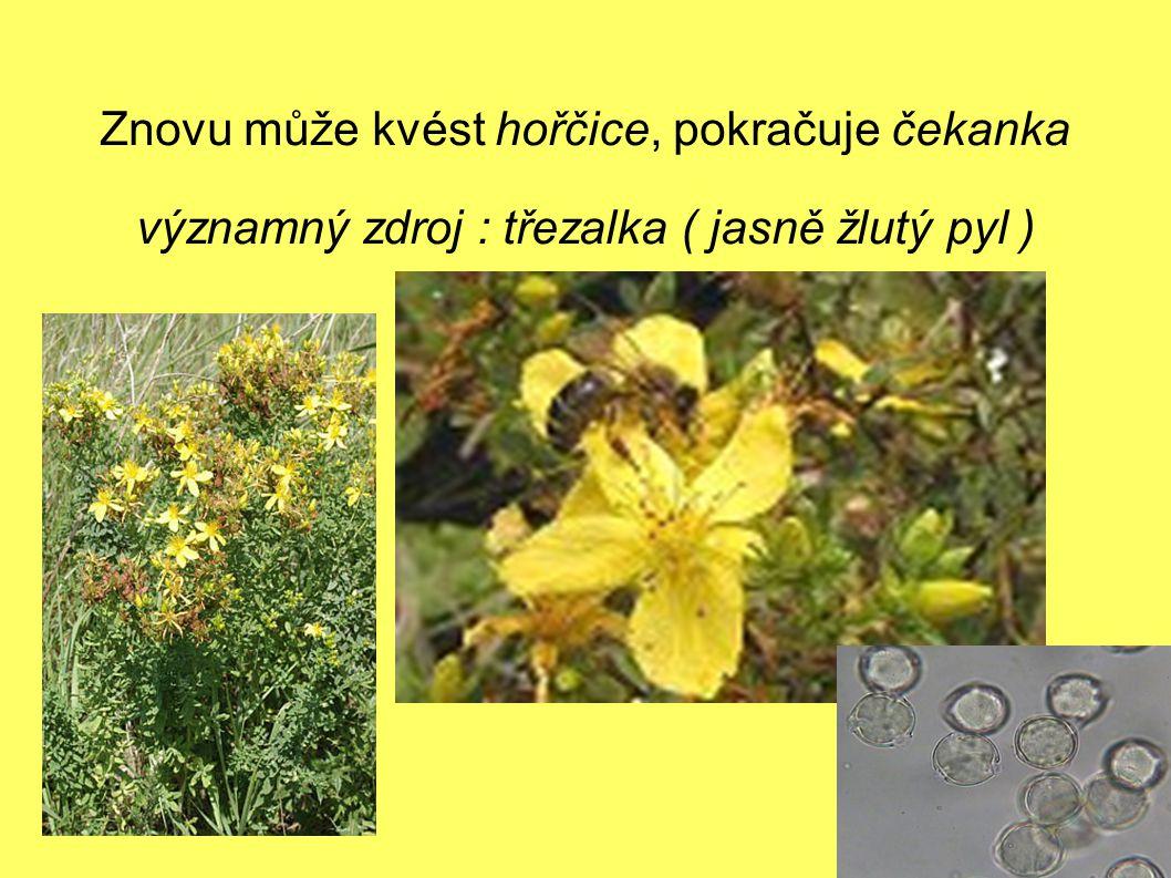 Znovu může kvést hořčice, pokračuje čekanka významný zdroj : třezalka ( jasně žlutý pyl )