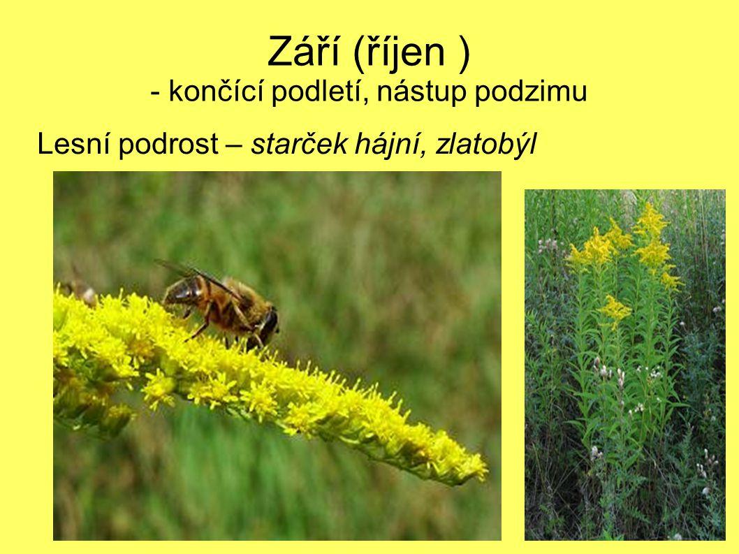 Září (říjen ) - končící podletí, nástup podzimu Lesní podrost – starček hájní, zlatobýl