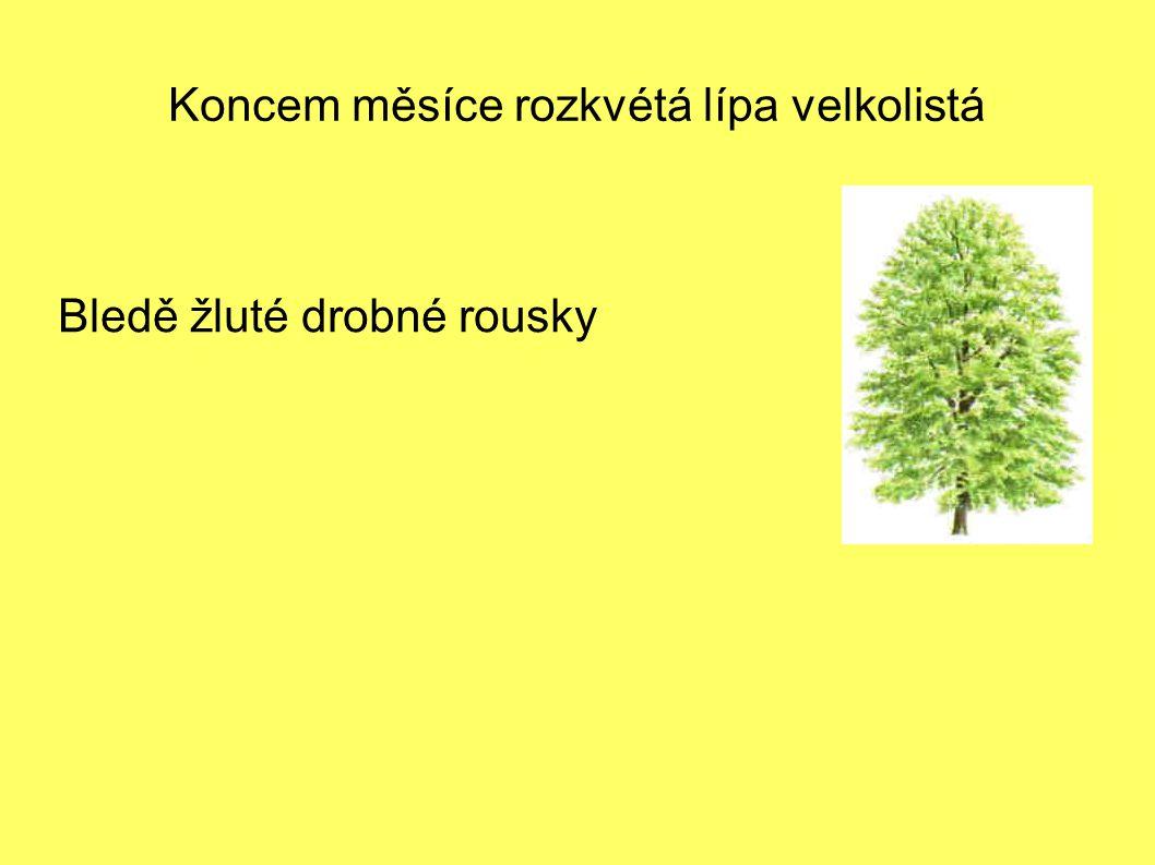 Koncem měsíce rozkvétá lípa velkolistá Bledě žluté drobné rousky