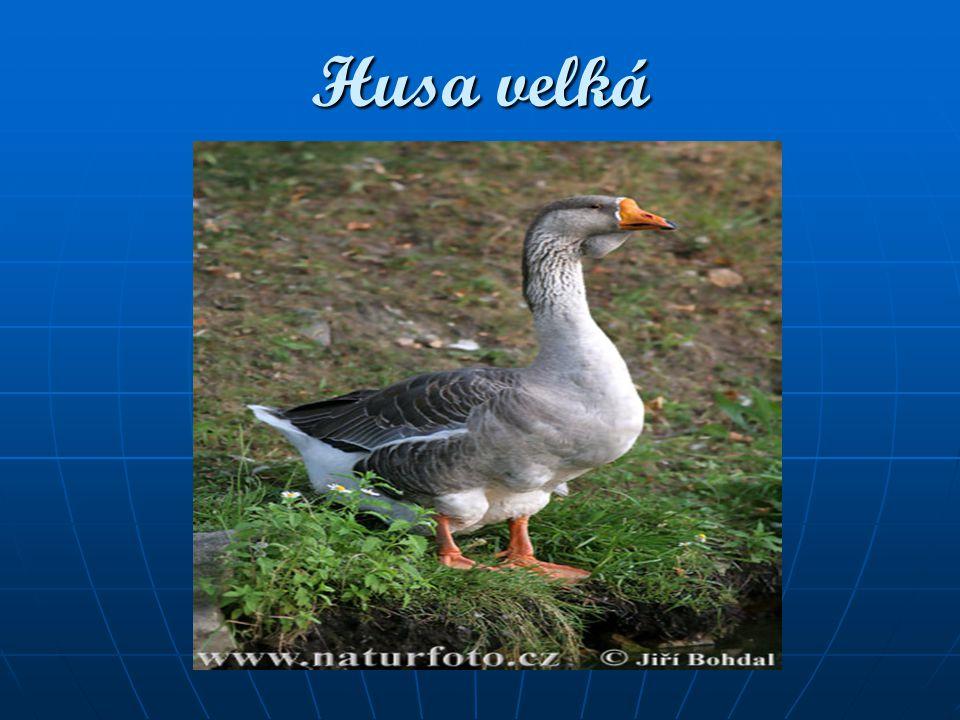 Délka těla: 83 - 98 cm Délka těla: 83 - 98 cm Rozpětí křídel: 160 cm Rozpětí křídel: 160 cm Hmotnost: 2,5 - 6 kg Hmotnost: 2,5 - 6 kg Dospělý pták má černý hřbet, bílý ocas, růžový zobák a končetiny a zbylou část těla šedou.