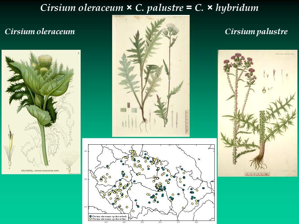 Cirsium palustreCirsium oleraceum Cirsium oleraceum × C. palustre = C. × hybridum