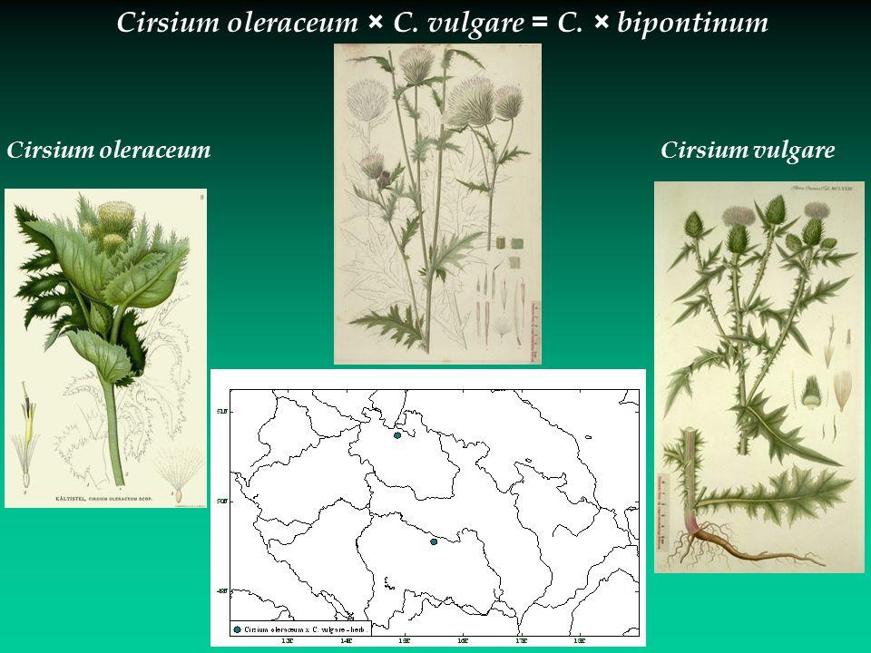 Cirsium vulgareCirsium oleraceum Cirsium oleraceum × C. vulgare = C. × bipontinum
