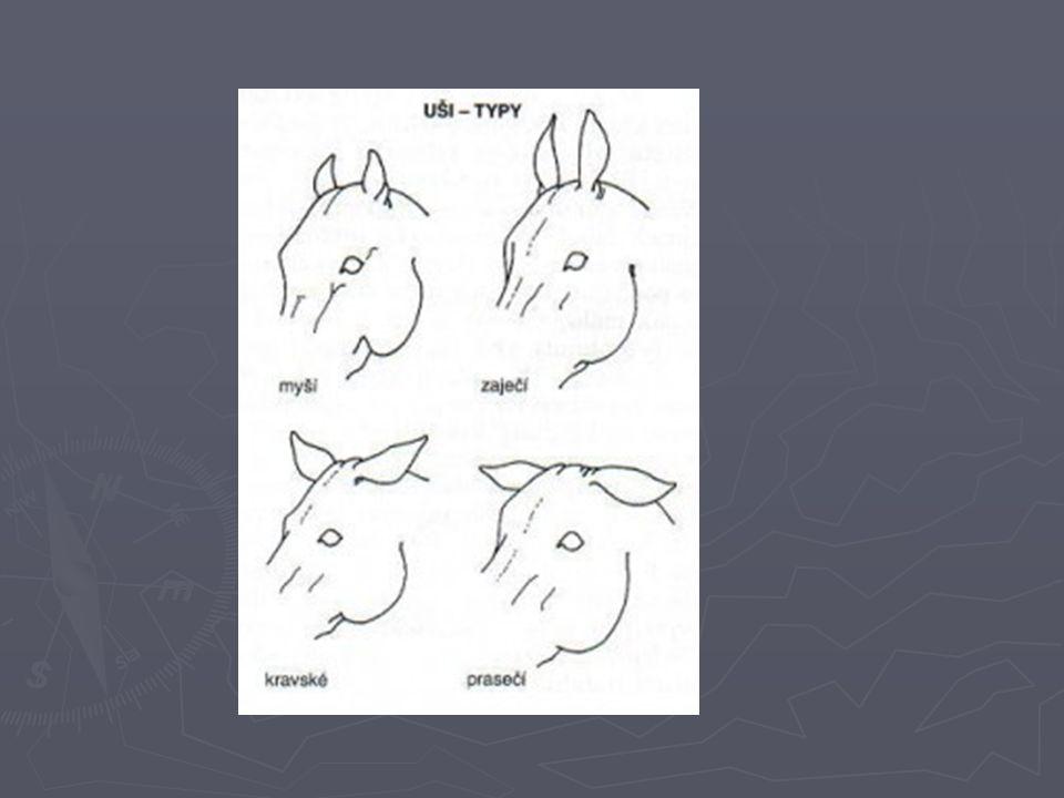 HLAVA Ganaše – spojení hlavy a krku Úhel mezi hlavou a krkem je dán volností v ganaších – má být asi 90° - ovladatelnost Široké – jde za otěž Úzké – nad otěž kvalita přilnutí – spojení ruky jezdce s hubou koně Klkavost koní – zbytnělé vazy v ganaších