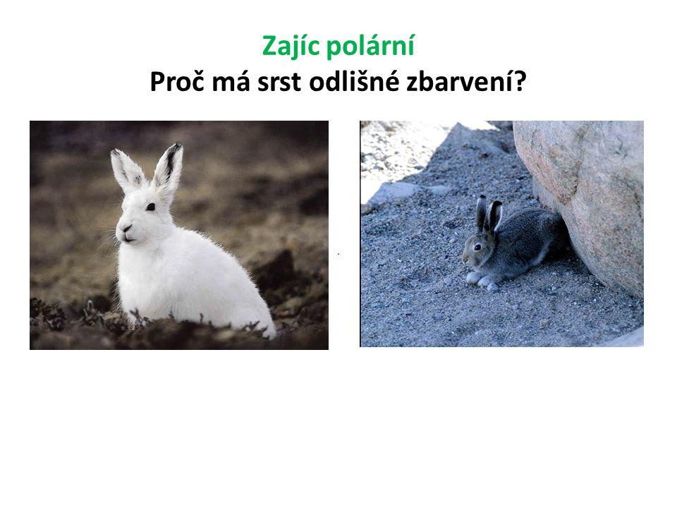 Zajíc polární Proč má srst odlišné zbarvení?