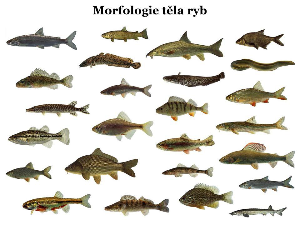 Morfologie těla ryb