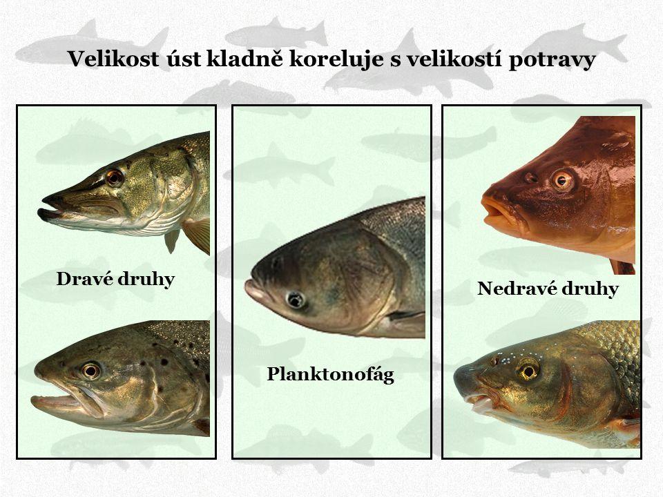 Velikost úst kladně koreluje s velikostí potravy Dravé druhy Nedravé druhy Planktonofág