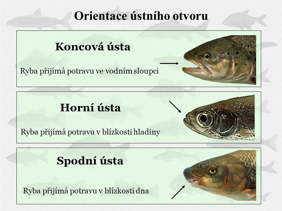 Spodní ústa Ryba přijímá potravu v blízkosti dna Horní ústa Ryba přijímá potravu v blízkosti hladiny Koncová ústa Ryba přijímá potravu ve vodním sloupci Orientace ústního otvoru