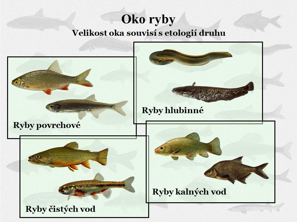 Oko ryby Velikost oka souvisí s etologií druhu Ryby povrchové Ryby hlubinné Ryby čistých vod Ryby kalných vod