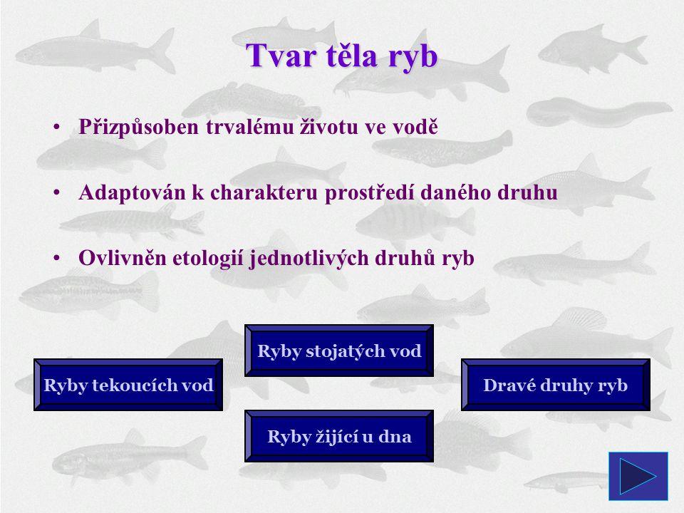 Tvar těla ryb Ryby tekoucích vodDravé druhy ryb Ryby stojatých vod Přizpůsoben trvalému životu ve vodě Adaptován k charakteru prostředí daného druhu Ovlivněn etologií jednotlivých druhů ryb Ryby žijící u dna