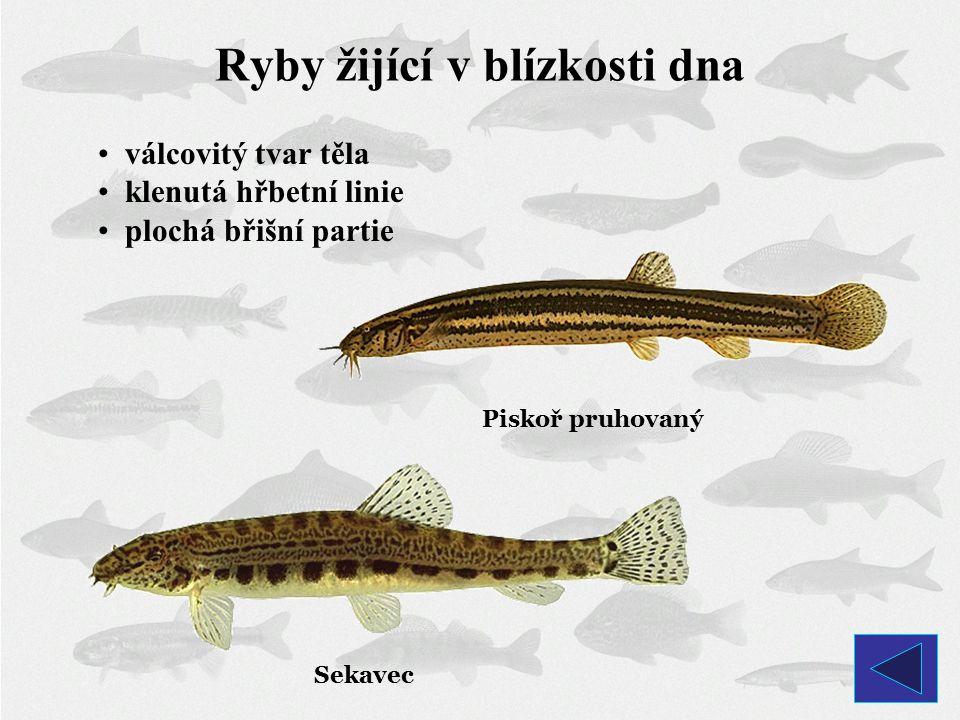 Piskoř pruhovaný Sekavec Ryby žijící v blízkosti dna válcovitý tvar těla klenutá hřbetní linie plochá břišní partie