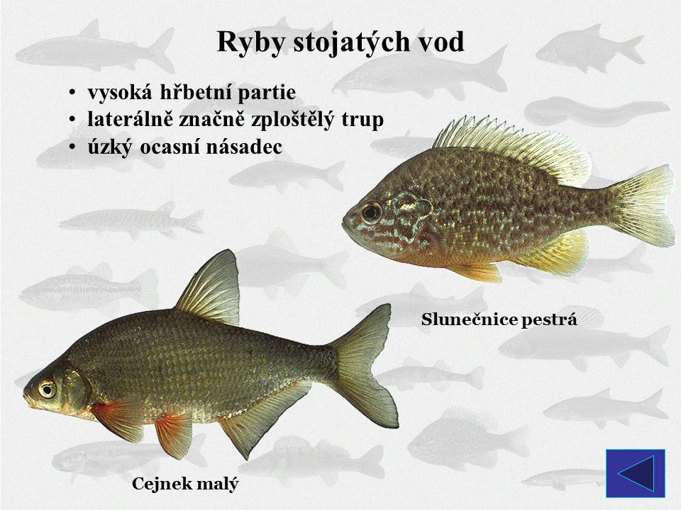 Ryby stojatých vod vysoká hřbetní partie laterálně značně zploštělý trup úzký ocasní násadec Cejnek malý Slunečnice pestrá
