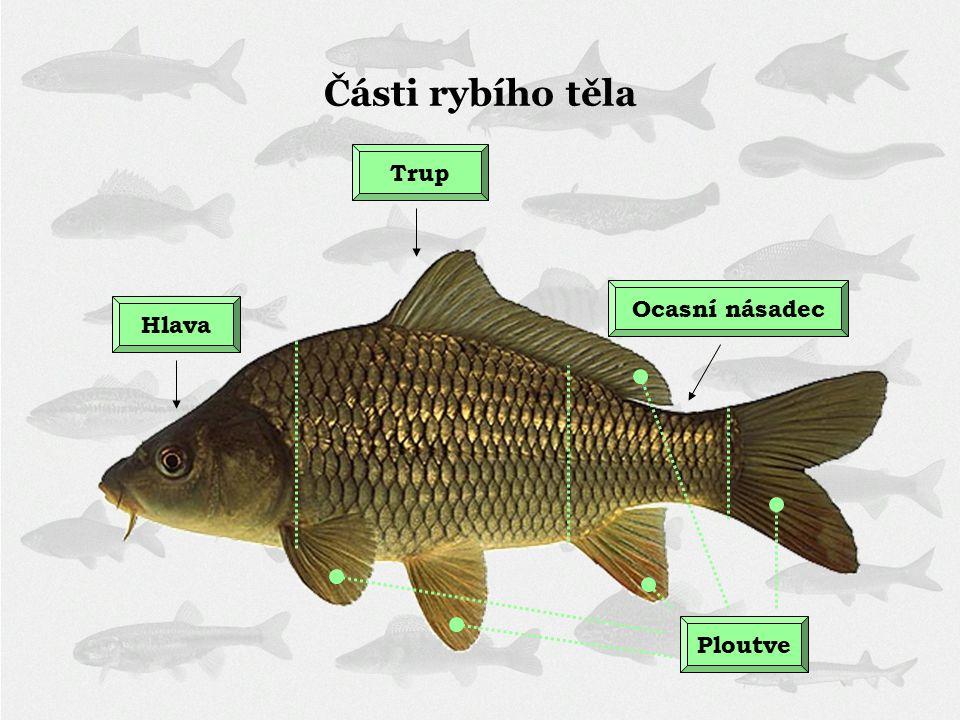 HlavaTrup Ploutve Ocasní násadec Části rybího těla