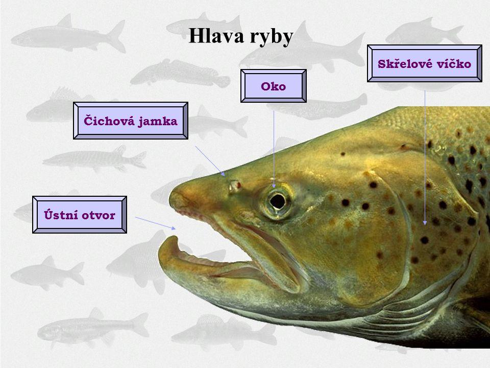 Hlava ryby Oko Skřelové víčkoÚstní otvorČichová jamka