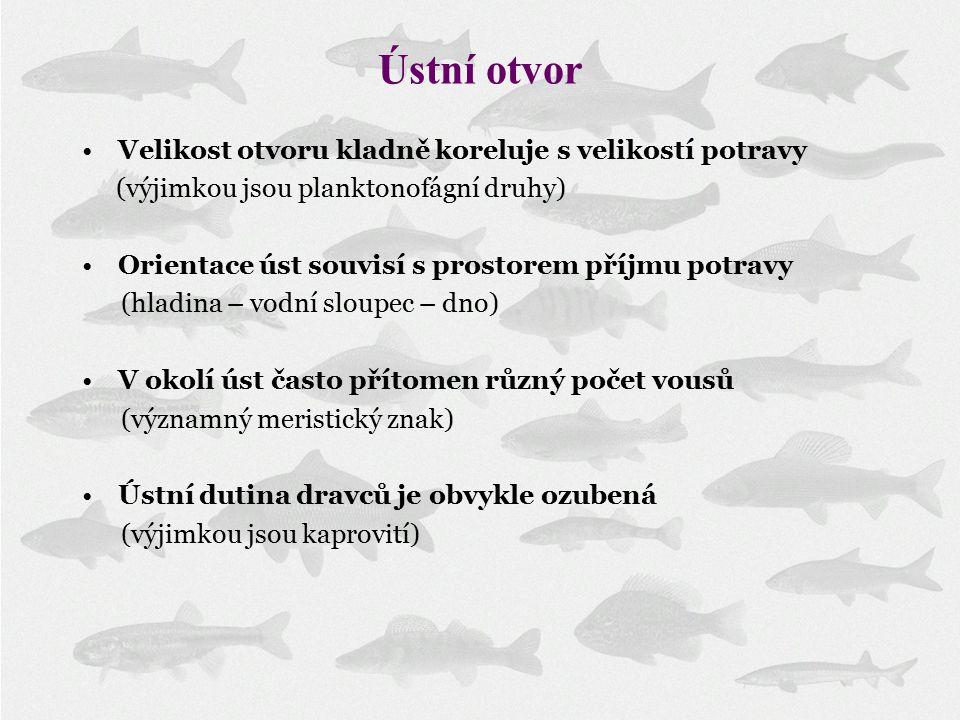 Ústní otvor Velikost otvoru kladně koreluje s velikostí potravy (výjimkou jsou planktonofágní druhy) Orientace úst souvisí s prostorem příjmu potravy (hladina – vodní sloupec – dno) V okolí úst často přítomen různý počet vousů (významný meristický znak) Ústní dutina dravců je obvykle ozubená (výjimkou jsou kaprovití)