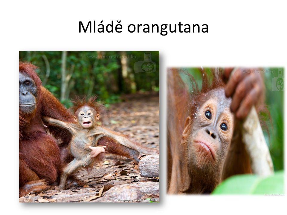 Zástupci Lemur Kata Komba Ušatá poloopice Kočkodan Zelený Makak Magot opice
