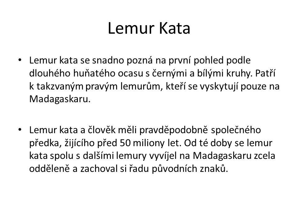 Lemur Kata Lemur kata se snadno pozná na první pohled podle dlouhého huňatého ocasu s černými a bílými kruhy. Patří k takzvaným pravým lemurům, kteří