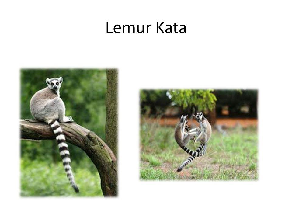 Komba Ušatá Žijí v samičích skupinách v suchých lesnatých krajinách a v savanách.