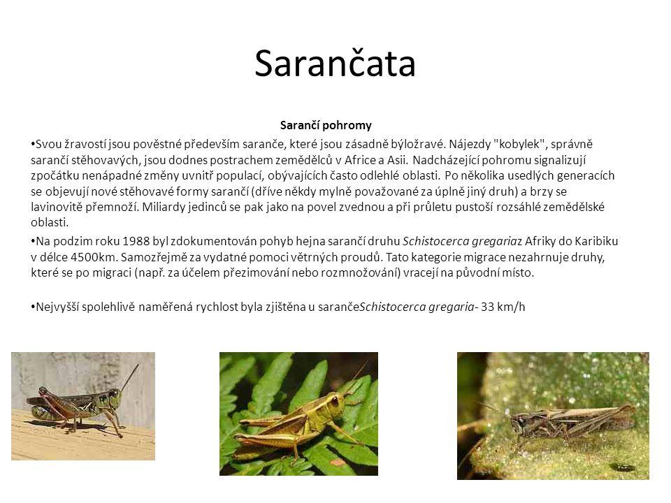 Sarančata Sarančí pohromy Svou žravostí jsou pověstné především saranče, které jsou zásadně býložravé. Nájezdy