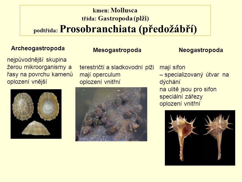 kmen: Mollusca třída: Gastropoda (plži) podtřída: Prosobranchiata (předožábří) Archeogastropoda MesogastropodaNeogastropoda nejpůvodnější skupina žero