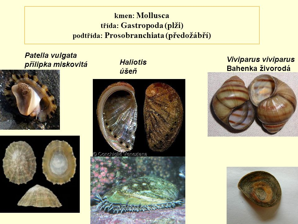 kmen: Mollusca třída: Gastropoda (plži) podtřída: Prosobranchiata (předožábří) Patella vulgata přílipka miskovitá Viviparus viviparus Bahenka živorodá