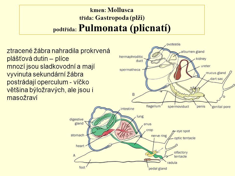 kmen: Mollusca třída: Gastropoda (plži) podtřída: Pulmonata (plicnatí) ztracené žábra nahradila prokrvená plášťová dutin – plíce mnozí jsou sladkovodn