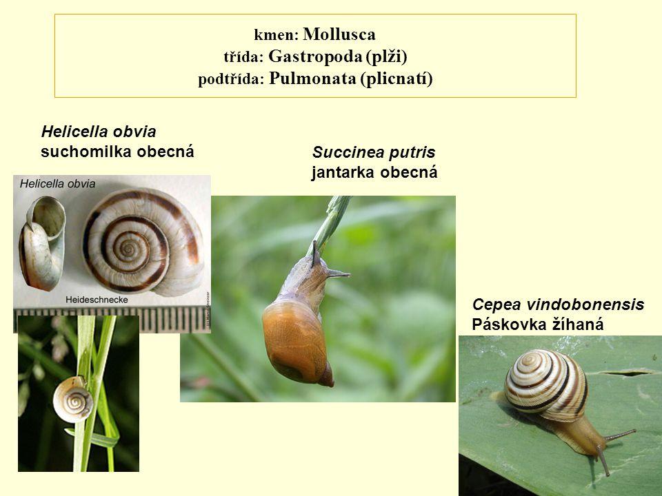 kmen: Mollusca třída: Gastropoda (plži) podtřída: Pulmonata (plicnatí) Helicella obvia suchomilka obecná Succinea putris jantarka obecná Cepea vindobo