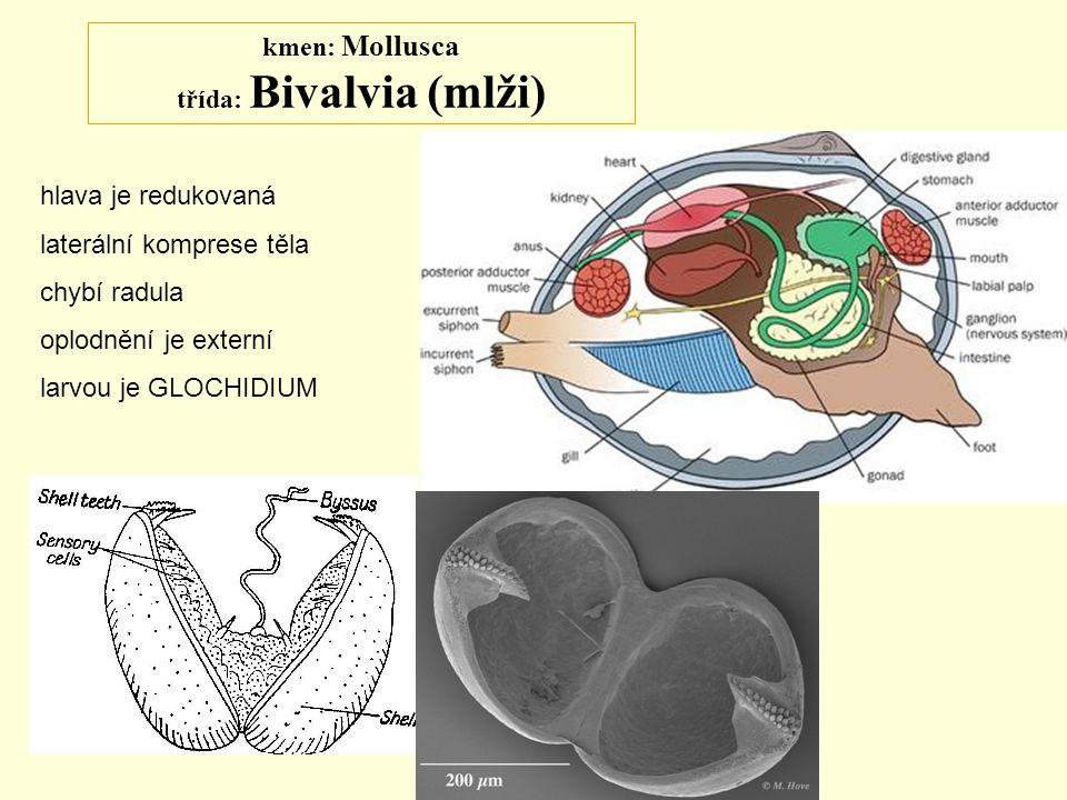 kmen: Mollusca třída: Bivalvia (mlži) hlava je redukovaná laterální komprese těla chybí radula oplodnění je externí larvou je GLOCHIDIUM