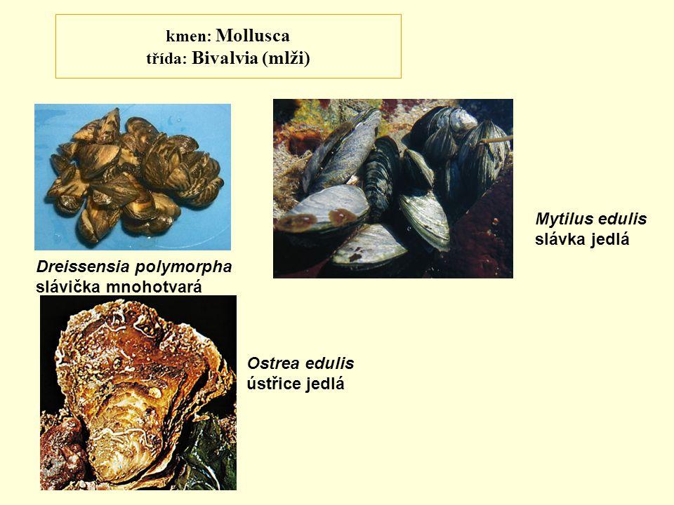 kmen: Mollusca třída: Bivalvia (mlži) Dreissensia polymorpha slávička mnohotvará Mytilus edulis slávka jedlá Ostrea edulis ústřice jedlá
