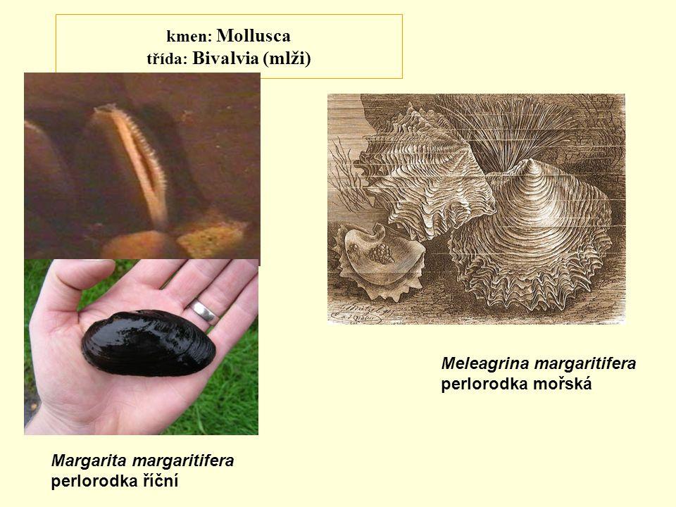kmen: Mollusca třída: Bivalvia (mlži) Margarita margaritifera perlorodka říční Meleagrina margaritifera perlorodka mořská