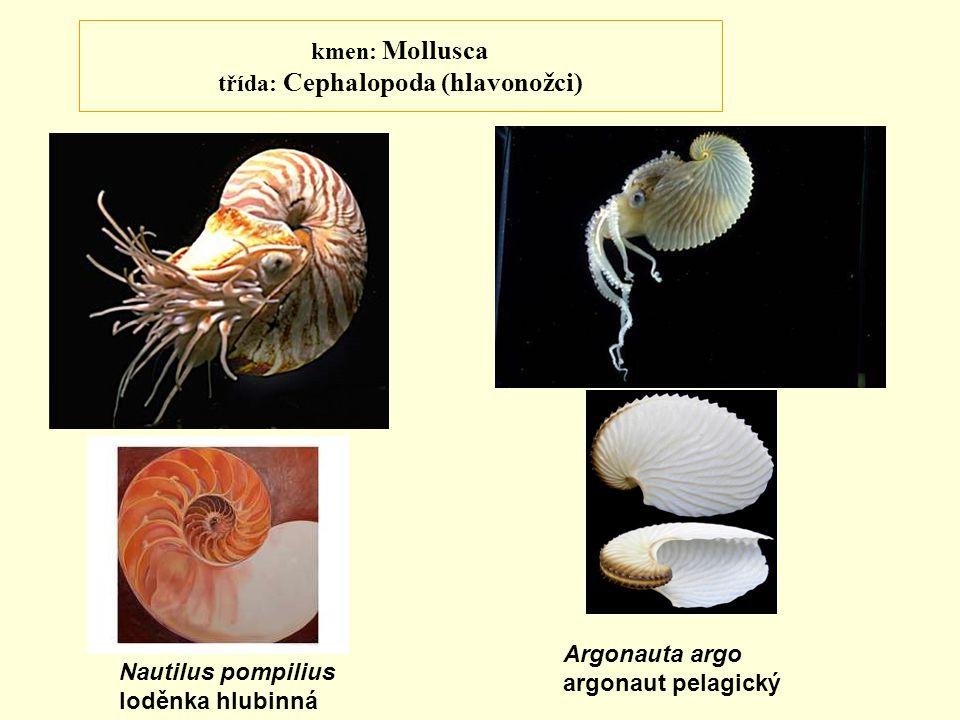 kmen: Mollusca třída: Cephalopoda (hlavonožci) Nautilus pompilius loděnka hlubinná Argonauta argo argonaut pelagický
