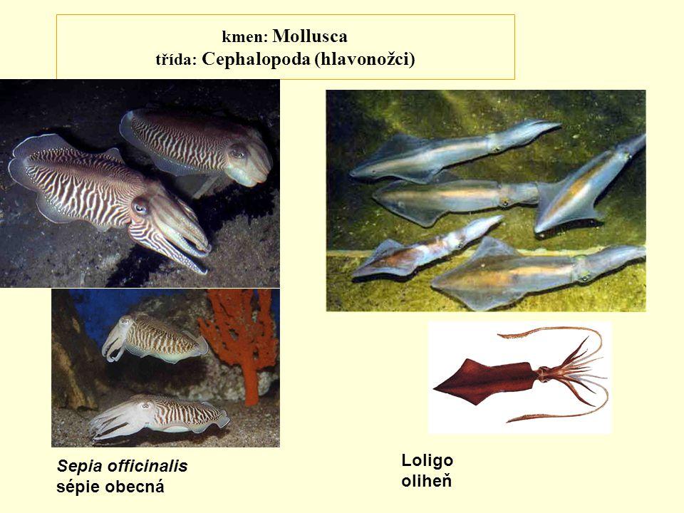 kmen: Mollusca třída: Cephalopoda (hlavonožci) Sepia officinalis sépie obecná Loligo oliheň