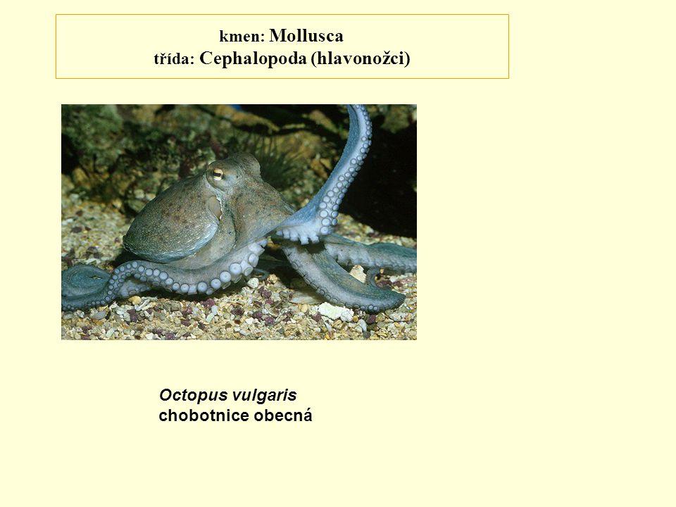 kmen: Mollusca třída: Cephalopoda (hlavonožci) Octopus vulgaris chobotnice obecná