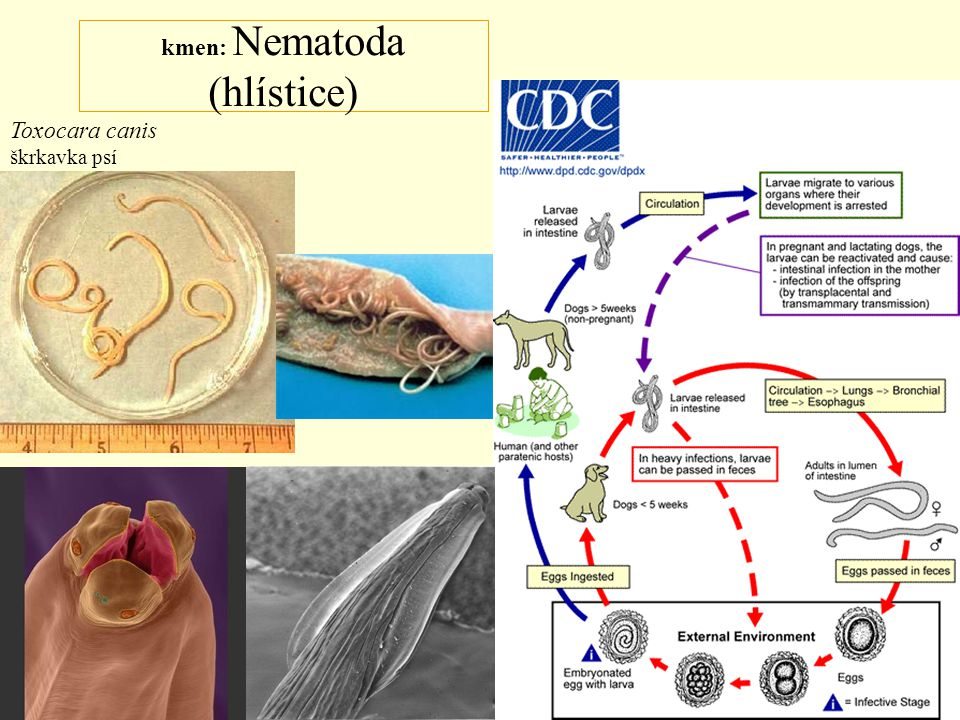 kmen: Mollusca třída: Bivalvia (mlži) Teredo navalis šášeň lodní