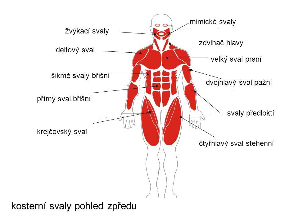 kosterní svaly pohled zpředu mimické svaly zdvihač hlavy velký sval prsní deltový sval dvojhlavý sval pažní svaly předloktí žvýkací svaly šikmé svaly