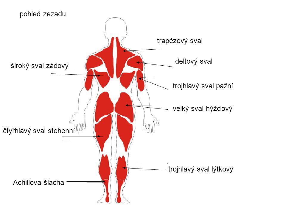 trapézový sval deltový sval trojhlavý sval pažní velký sval hýžďový trojhlavý sval lýtkový Achillova šlacha čtyřhlavý sval stehenní pohled zezadu širo