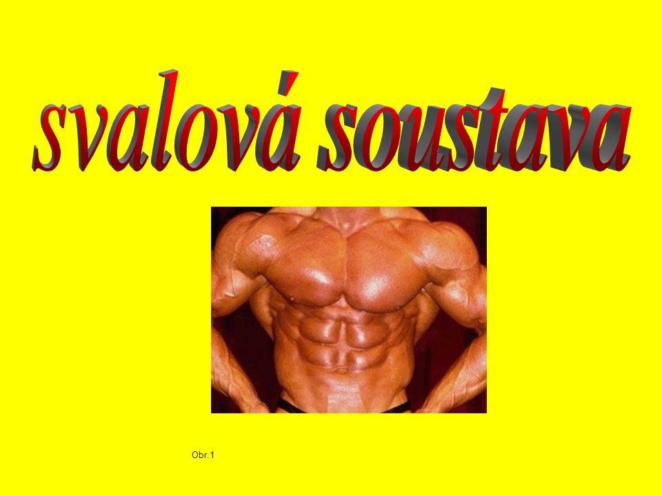 Rozdělení svalů