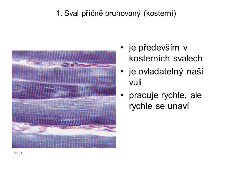 1. Sval příčně pruhovaný (kosterní) je především v kosterních svalech je ovladatelný naší vůli pracuje rychle, ale rychle se unaví Obr.2