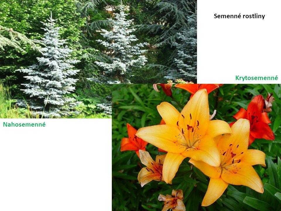 Semenné rostliny Nahosemenné Krytosemenné