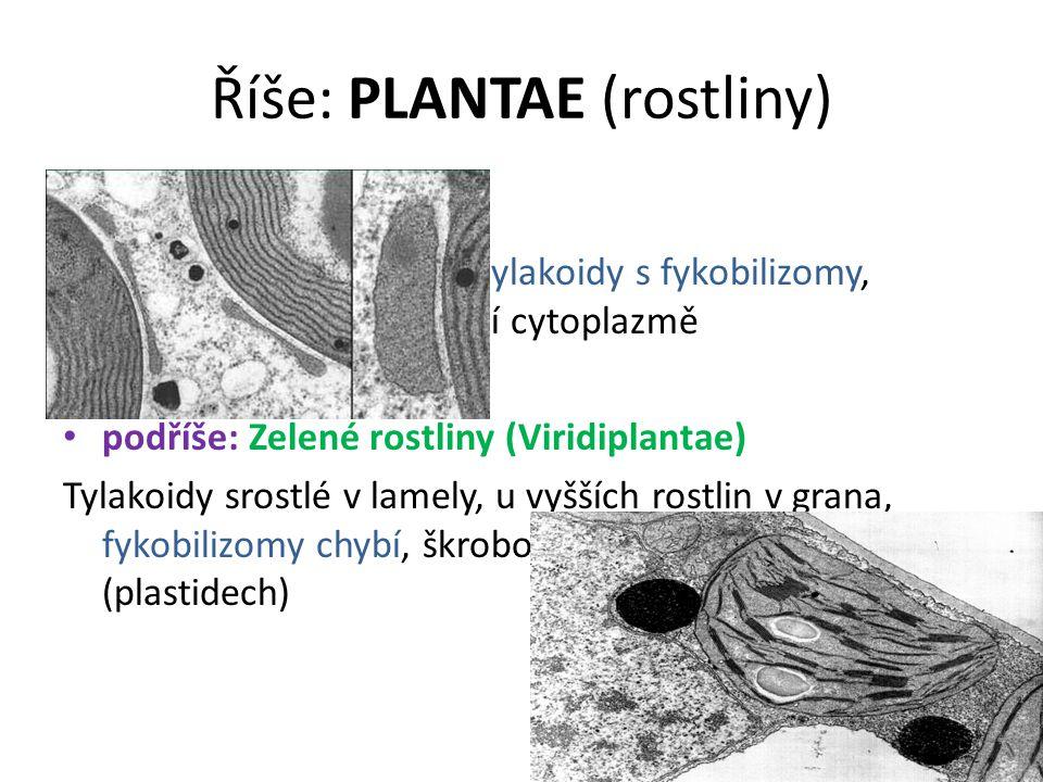 Říše: PLANTAE (rostliny) podříše: Biliphyta Rovnoběžně uspořádané tylakoidy s fykobilizomy, škrobová zrna v základní cytoplazmě podříše: Zelené rostli