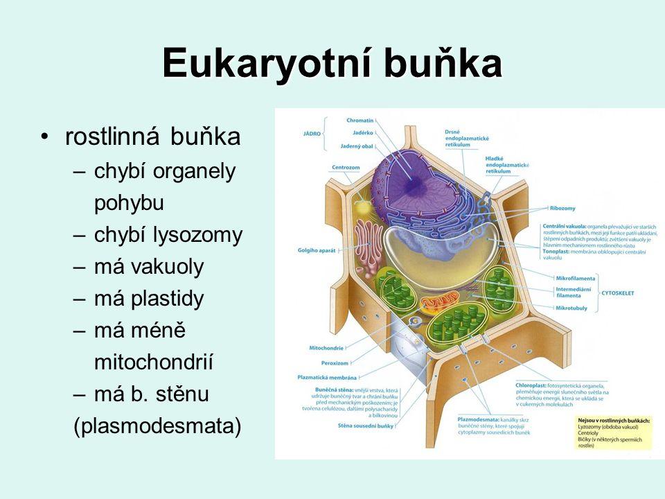 Eukaryotní buňka rostlinná buňka –chybí organely pohybu –chybí lysozomy –má vakuoly –má plastidy –má méně mitochondrií –má b. stěnu (plasmodesmata)