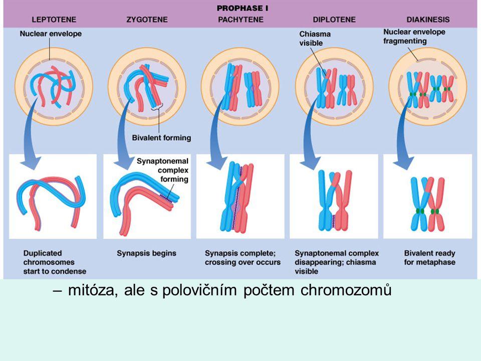 meióza 1. fáze - redukce počtu chromozomů –jako mitóza, ale! profáze: vznik bivalentů = páry homologních chromozomů, crossing–over anafázi nedochází k