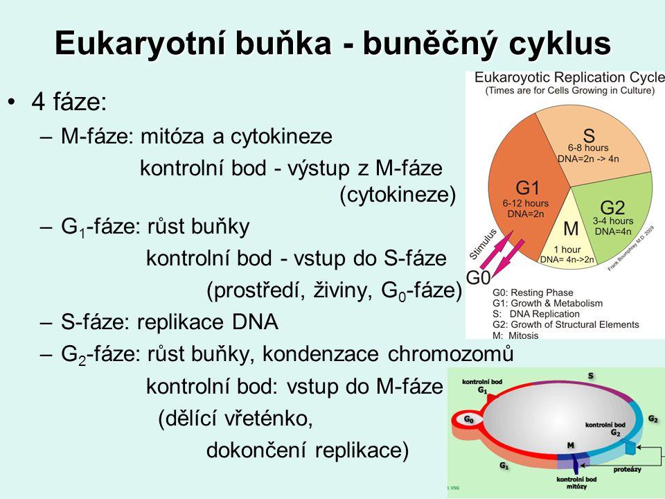 Eukaryotní buňka - buněčný cyklus 4 fáze: –M-fáze: mitóza a cytokineze kontrolní bod - výstup z M-fáze (cytokineze) –G 1 -fáze: růst buňky kontrolní b
