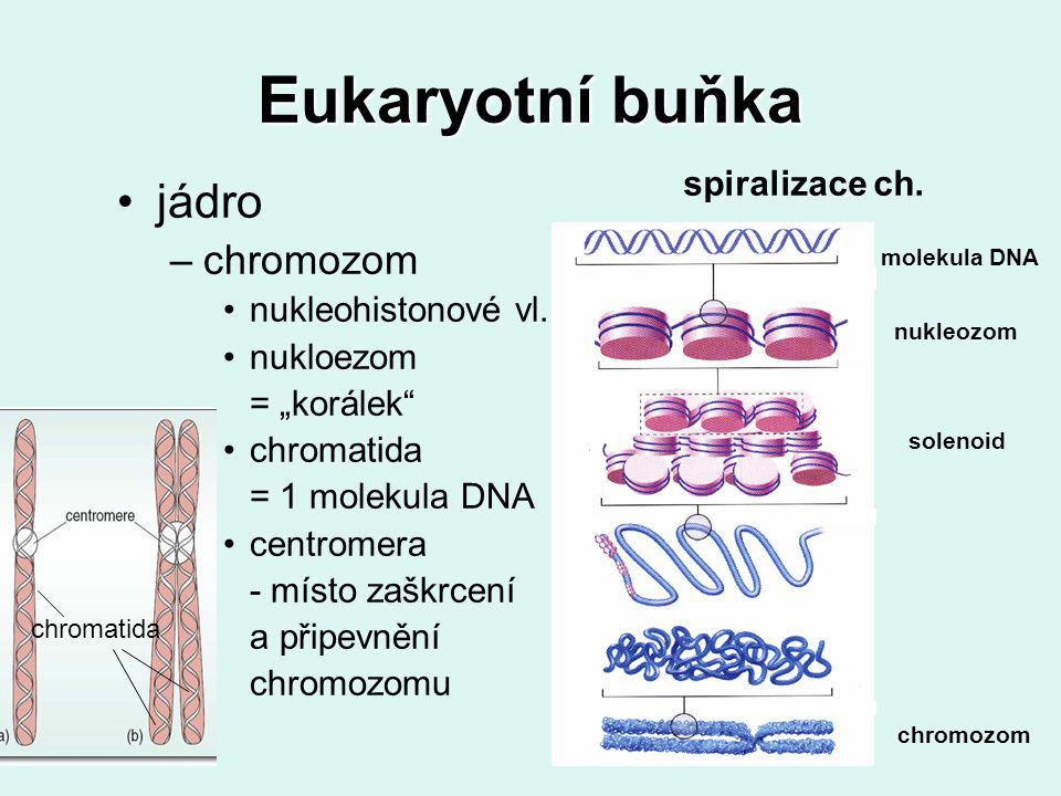 Eukaryotní buňka haploidní / diploidní buňka –podle počtu chromozomů –dvě shodné sady (chromozomy v párech) → diploidní 2n - somatické (tělní) buňky –jedna sada (žádné shodné chromozomy) → haploidní 1n - gamety (pohlavní buňky)