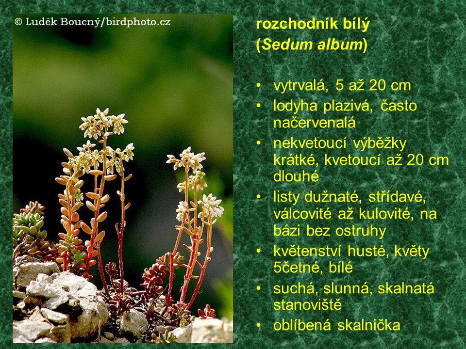 rozchodník bílý (Sedum album) vytrvalá, 5 až 20 cm lodyha plazivá, často načervenalá nekvetoucí výběžky krátké, kvetoucí až 20 cm dlouhé listy dužnaté, střídavé, válcovité až kulovité, na bázi bez ostruhy květenství husté, květy 5četné, bílé suchá, slunná, skalnatá stanoviště oblíbená skalnička