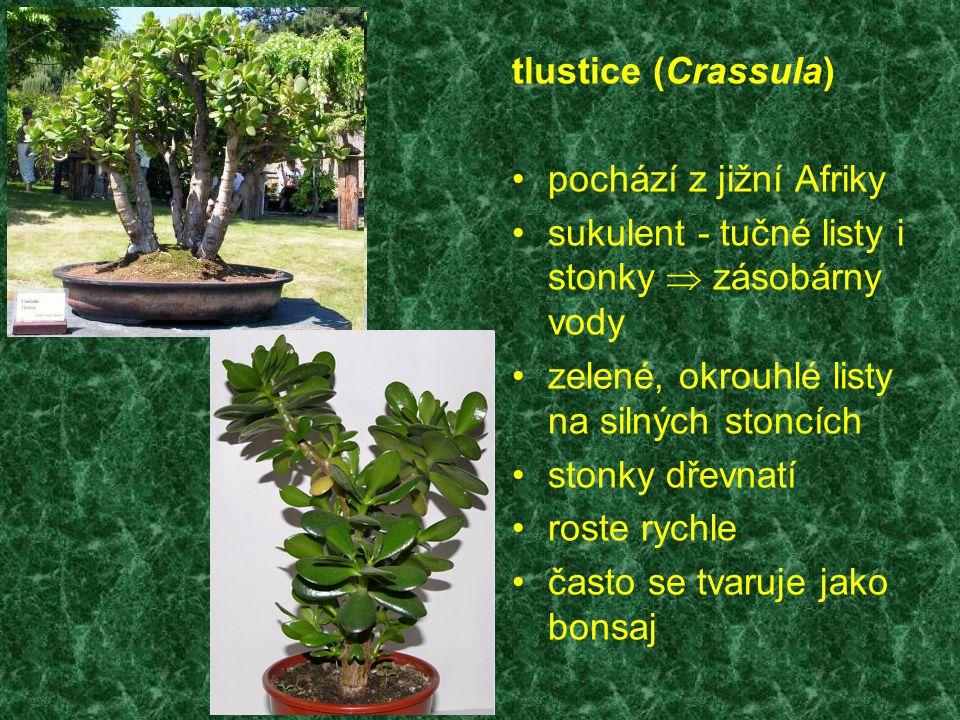 tlustice (Crassula) pochází z jižní Afriky sukulent - tučné listy i stonky  zásobárny vody zelené, okrouhlé listy na silných stoncích stonky dřevnatí roste rychle často se tvaruje jako bonsaj