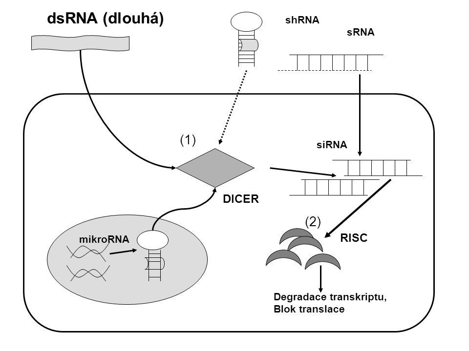 Genová instabilita může predisponovat premaligní buňku k proliferaci maligních dceřinných buněk Instabilita se může projevovat na makroúrovni: (změny v karyotypu) nebo mikroúrovnI (oprava DNA-sekvence)