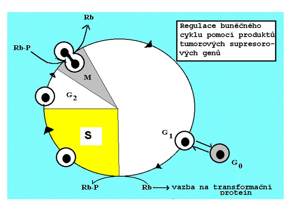 """NÁDOROVÝ FENOTYP MALIGNÍ TRANSFOMACE BUŇKY Ztráta kontroly PROLIFERACE - alterace buněčného cyklu - antiapoptóza (""""nesmrtelnost buňky ) - alterace v transdukci signálu Ztráta kontaktu buňka-buňka Invazivita Alterace v metabolismu (anaerobní glykolýza, """"uchvacování dusíku, lipolýza tvorba nádorových antigenů) Podpora angiogeneze"""